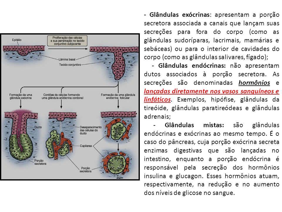 - Glândulas exócrinas: apresentam a porção secretora associada a canais que lançam suas secreções para fora do corpo (como as glândulas sudoríparas, l
