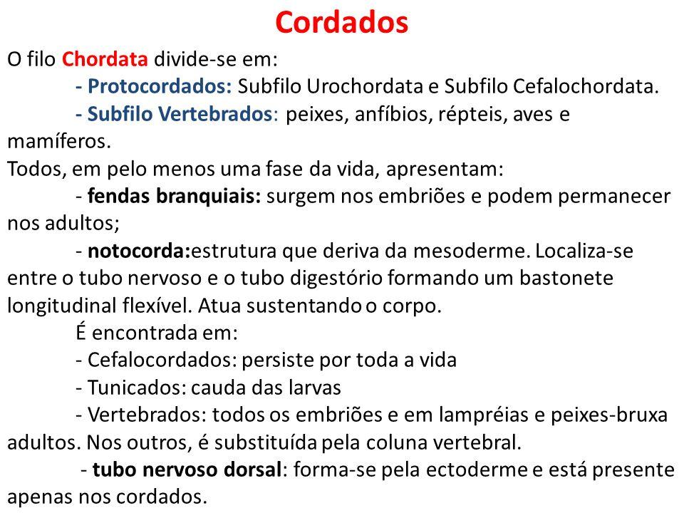 Cordados O filo Chordata divide-se em: - Protocordados: Subfilo Urochordata e Subfilo Cefalochordata. - Subfilo Vertebrados: peixes, anfíbios, répteis