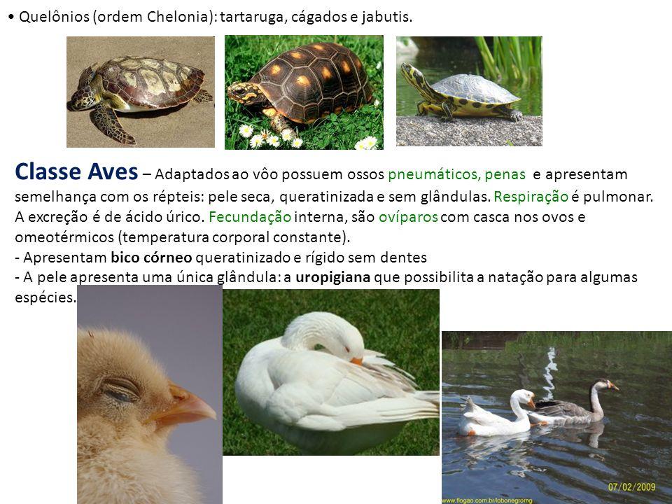 Quelônios (ordem Chelonia): tartaruga, cágados e jabutis. Classe Aves – Adaptados ao vôo possuem ossos pneumáticos, penas e apresentam semelhança com