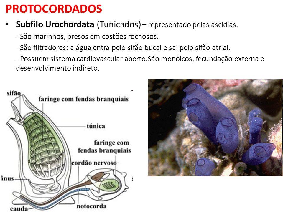 PROTOCORDADOS Subfilo Urochordata (Tunicados) – representado pelas ascídias. - São marinhos, presos em costões rochosos. - São filtradores: a água ent