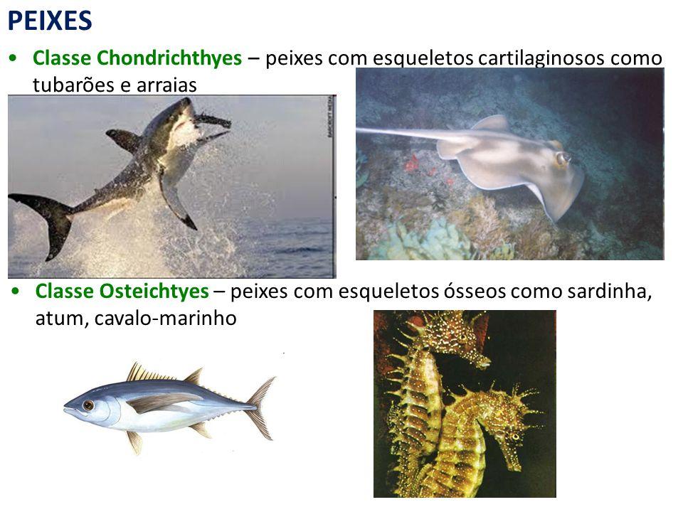 PEIXES Classe Chondrichthyes – peixes com esqueletos cartilaginosos como tubarões e arraias Classe Osteichtyes – peixes com esqueletos ósseos como sar
