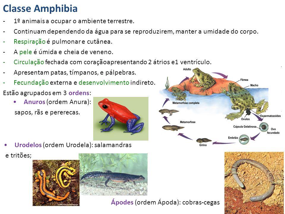 Classe Amphibia -1º animais a ocupar o ambiente terrestre. -Continuam dependendo da água para se reproduzirem, manter a umidade do corpo. -Respiração