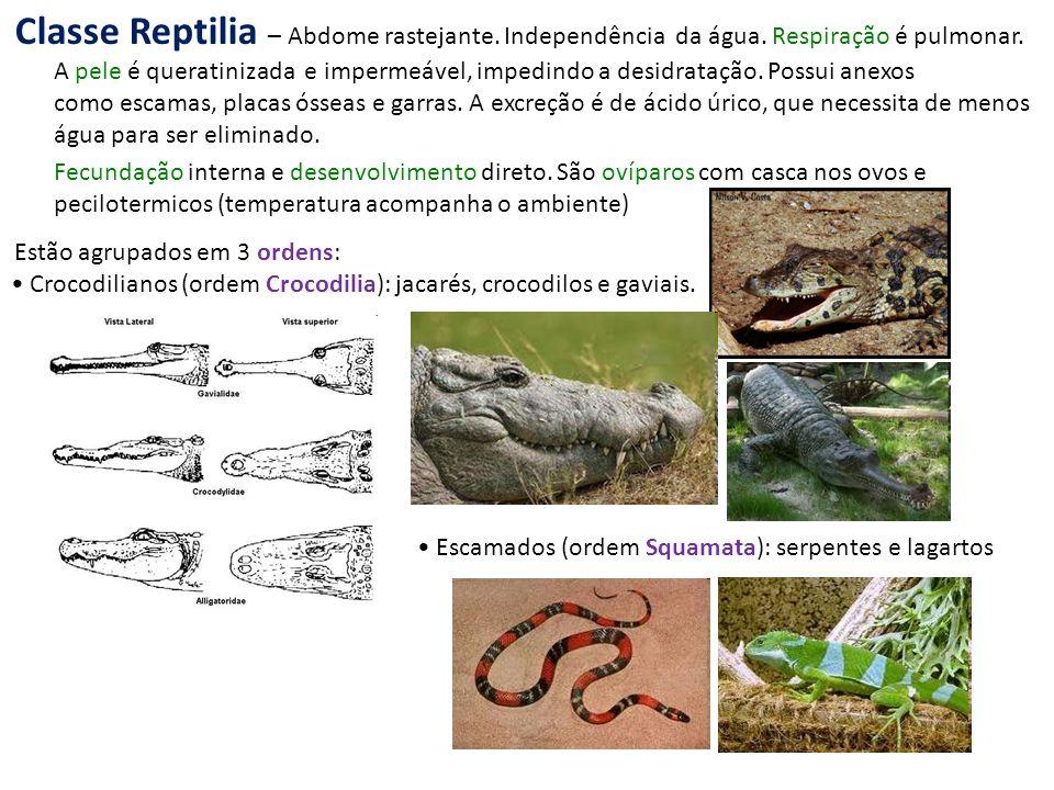 Crocodilianos (ordem Crocodilia): jacarés, crocodilos e gaviais. Classe Reptilia – Abdome rastejante. Independência da água. Respiração é pulmonar. A