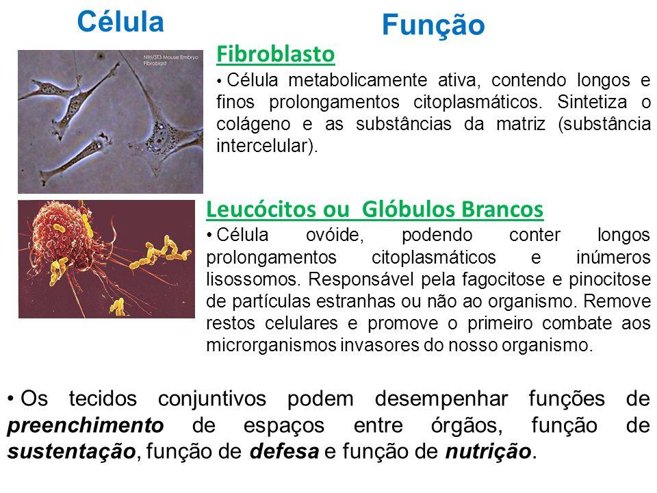 Célula Função Fibroblasto Célula metabolicamente ativa, contendo longos e finos prolongamentos citoplasmáticos. Sintetiza o colágeno e as substâncias