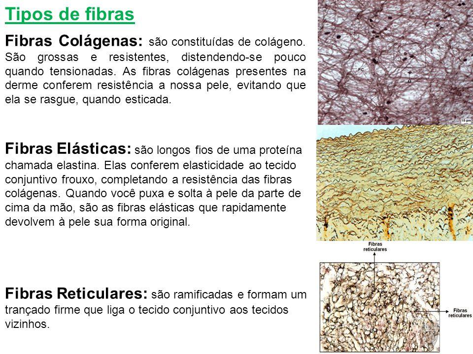 Tipos de fibras Fibras Colágenas: são constituídas de colágeno. São grossas e resistentes, distendendo-se pouco quando tensionadas. As fibras colágena