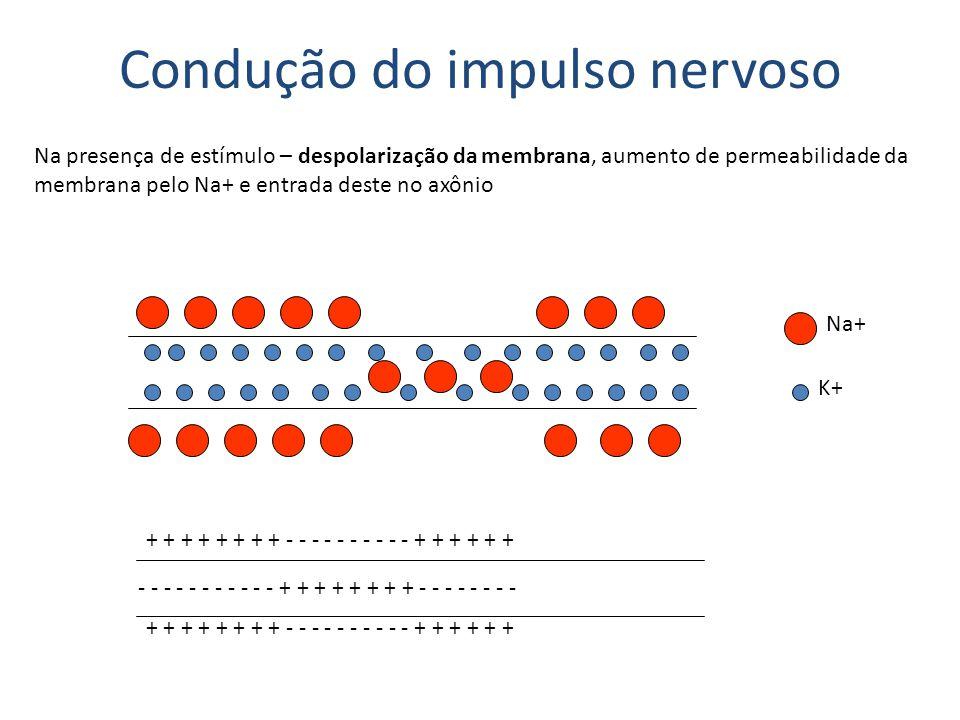 Condução do impulso nervoso Re-polarização da membrana: aumento de permeabilidade da membrana pelo K+ e saída deste no axônio Na+ K+ - - - - - - - - - - - - - - - + + + + + + + + + + + + + + + + + + + + +