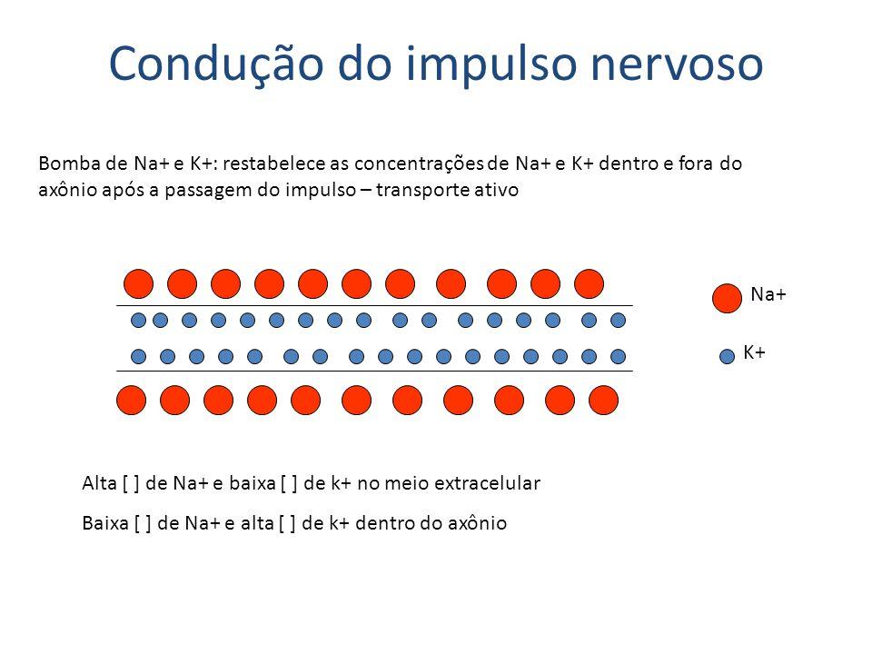 Sinapses Interneuronais: neurônio – neurônio Neuromusculares: neurônio – músculo Neuroglandulares: neurônio – célula glandular