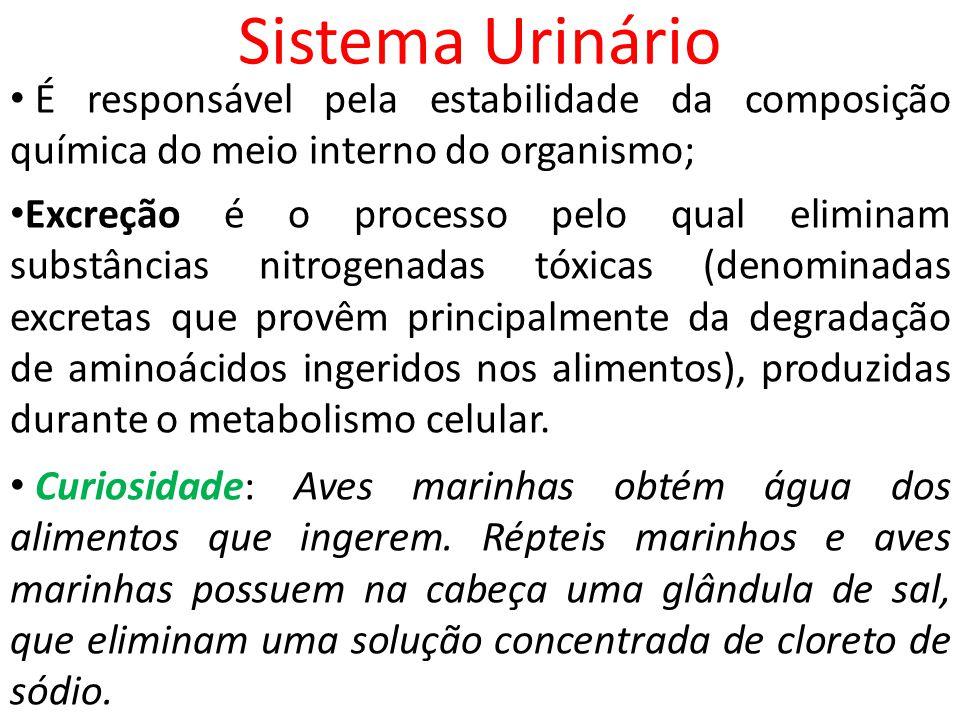 Sistema Urinário É responsável pela estabilidade da composição química do meio interno do organismo; Excreção é o processo pelo qual eliminam substânc