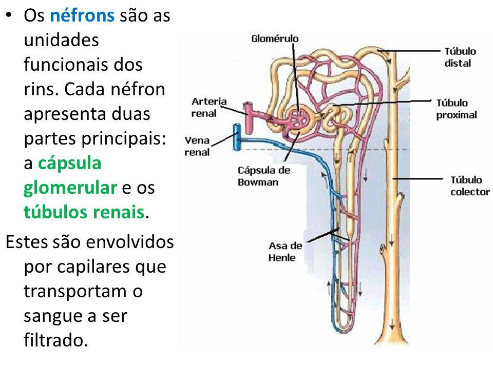 Os néfrons são as unidades funcionais dos rins. Cada néfron apresenta duas partes principais: a cápsula glomerular e os túbulos renais. Estes são envo