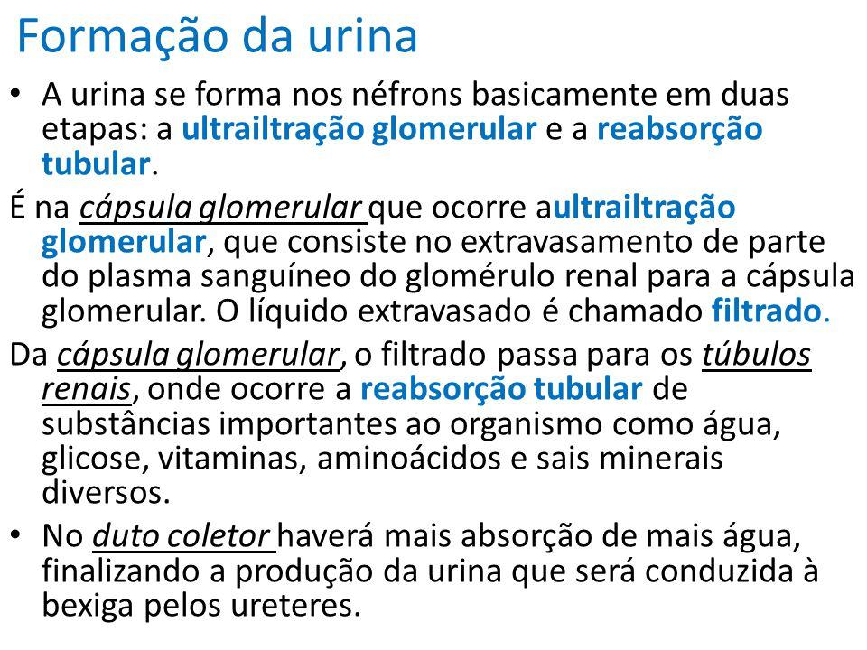 Formação da urina A urina se forma nos néfrons basicamente em duas etapas: a ultrailtração glomerular e a reabsorção tubular. É na cápsula glomerular