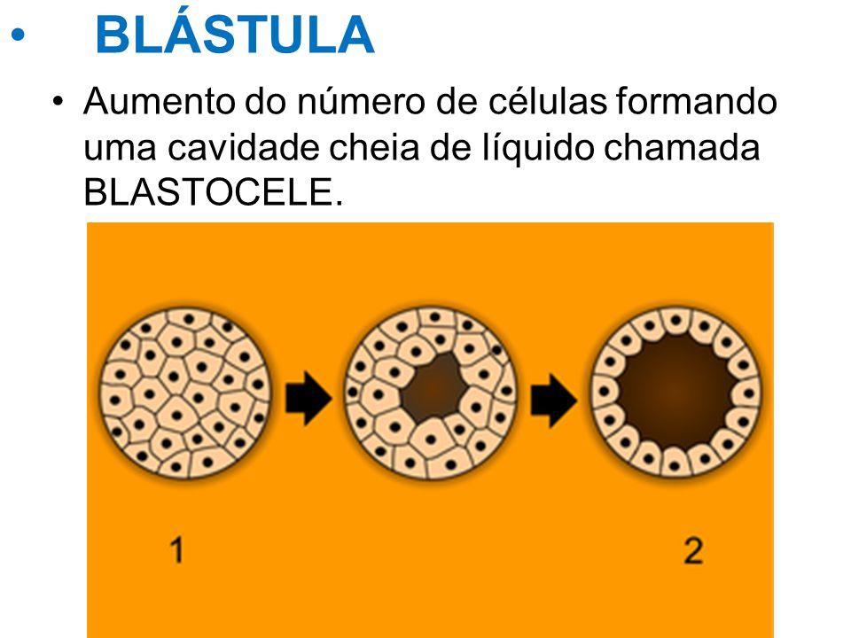 BLÁSTULA Aumento do número de células formando uma cavidade cheia de líquido chamada BLASTOCELE.