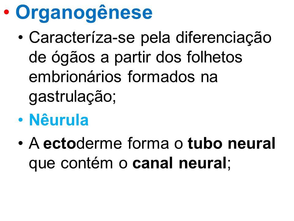 Caracteríza-se pela diferenciação de ógãos a partir dos folhetos embrionários formados na gastrulação; Nêurula A ectoderme forma o tubo neural que con