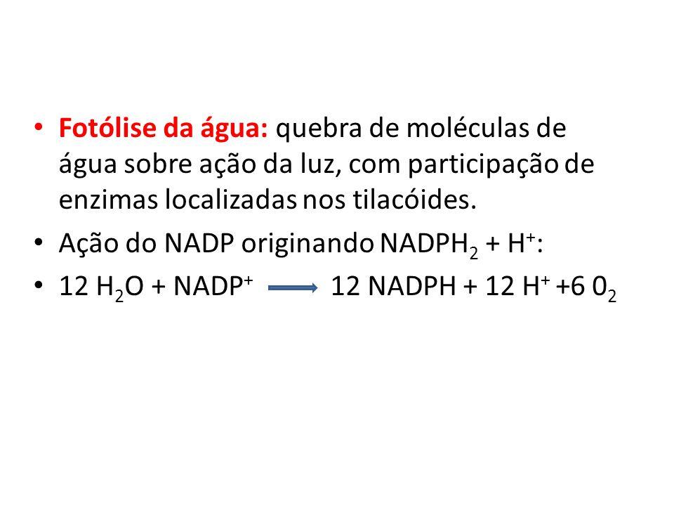 Fotólise da água: quebra de moléculas de água sobre ação da luz, com participação de enzimas localizadas nos tilacóides. Ação do NADP originando NADPH