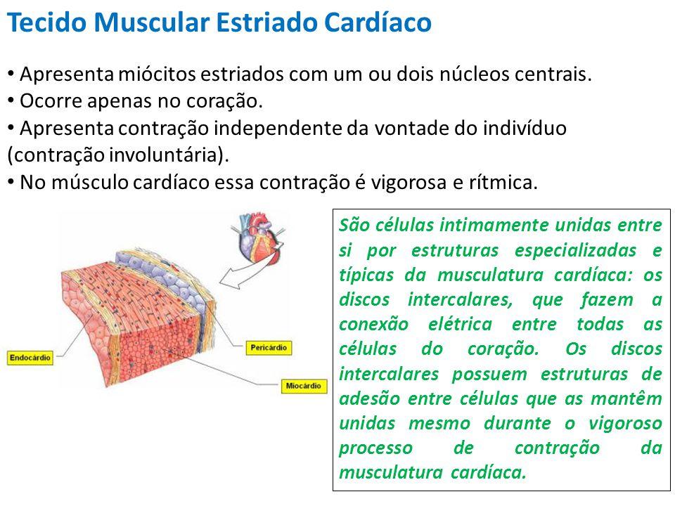 Tecido Muscular Estriado Cardíaco Apresenta miócitos estriados com um ou dois núcleos centrais. Ocorre apenas no coração. Apresenta contração independ