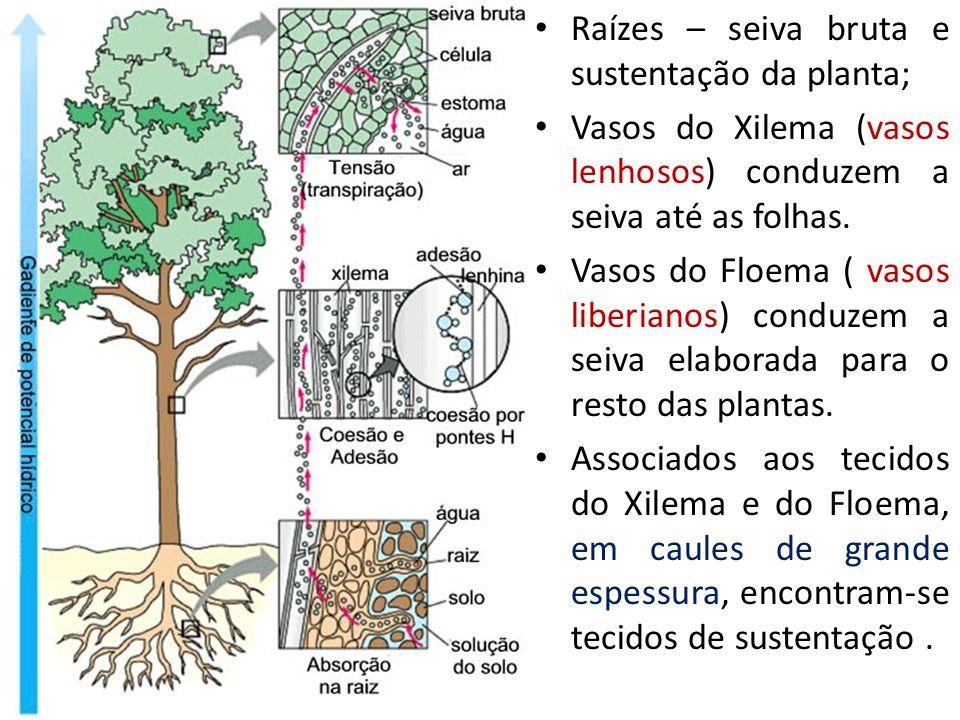Raízes – seiva bruta e sustentação da planta; Vasos do Xilema (vasos lenhosos) conduzem a seiva até as folhas.