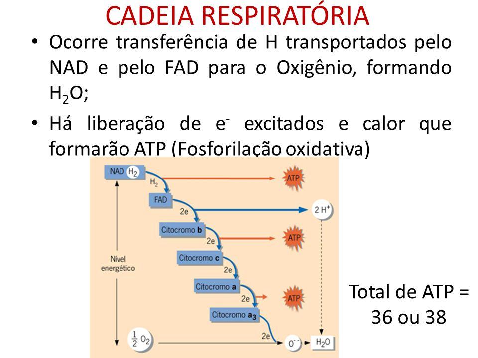 CADEIA RESPIRATÓRIA Ocorre transferência de H transportados pelo NAD e pelo FAD para o Oxigênio, formando H 2 O; Há liberação de e - excitados e calor
