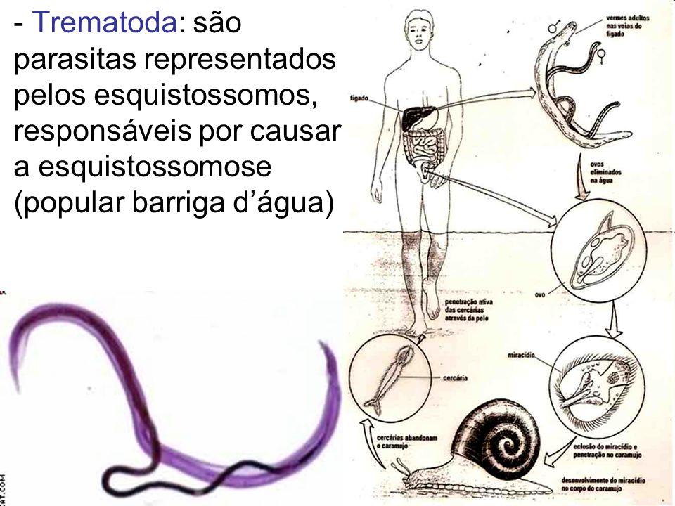 - Trematoda: são parasitas representados pelos esquistossomos, responsáveis por causar a esquistossomose (popular barriga dágua)