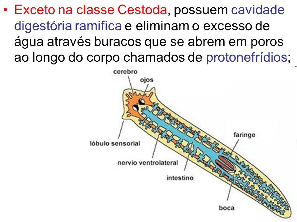 Exceto na classe Cestoda, possuem cavidade digestória ramifica e eliminam o excesso de água através buracos que se abrem em poros ao longo do corpo ch