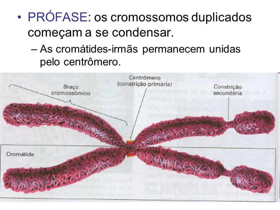 PRÓFASE: os cromossomos duplicados começam a se condensar. –As cromátides-irmãs permanecem unidas pelo centrômero.