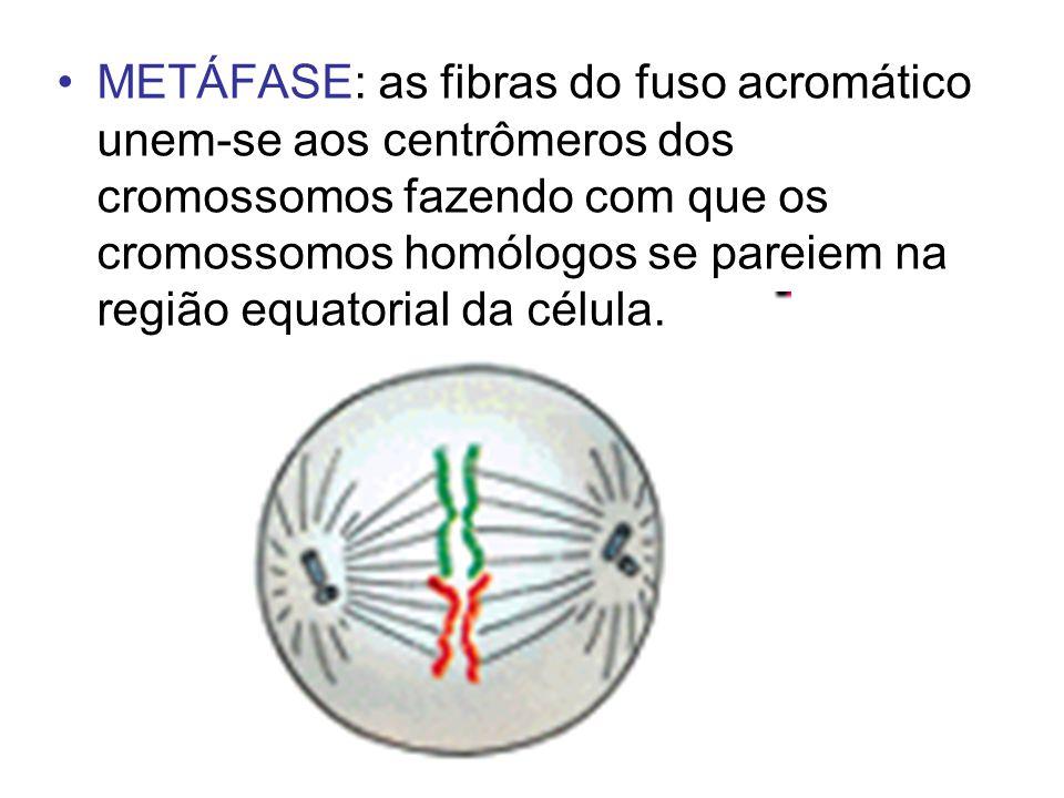 METÁFASE: as fibras do fuso acromático unem-se aos centrômeros dos cromossomos fazendo com que os cromossomos homólogos se pareiem na região equatoria