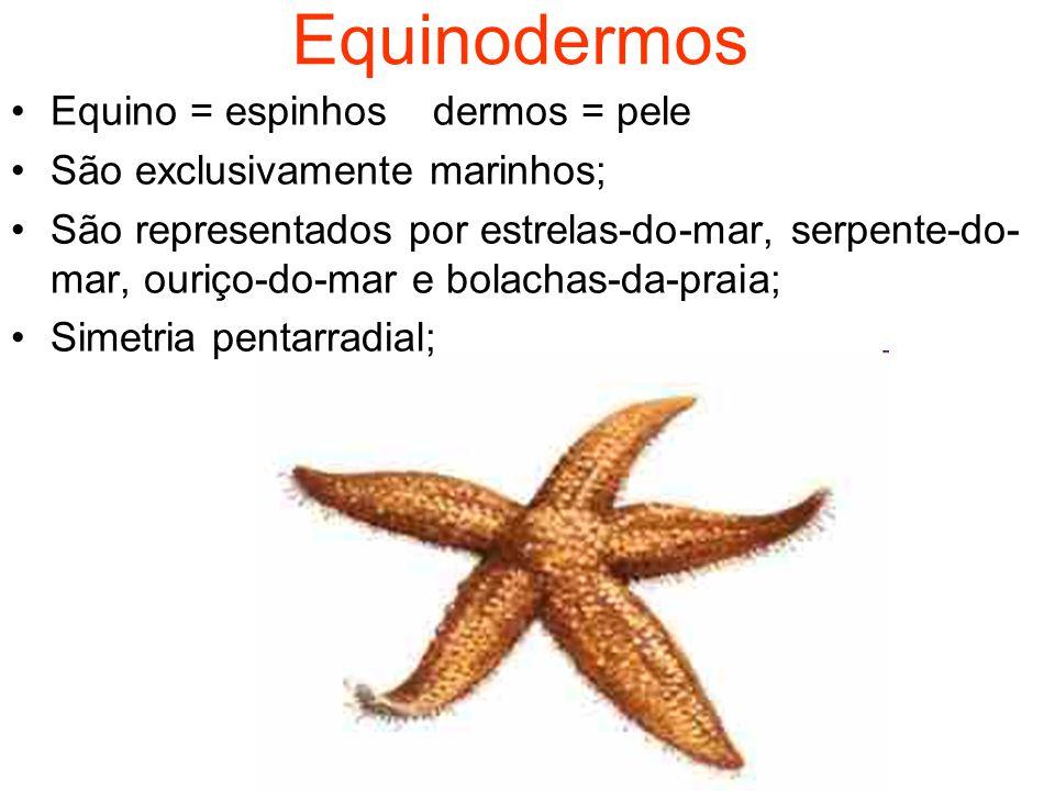 Equinodermos Equino = espinhosdermos = pele São exclusivamente marinhos; São representados por estrelas-do-mar, serpente-do- mar, ouriço-do-mar e bolachas-da-praia; Simetria pentarradial;