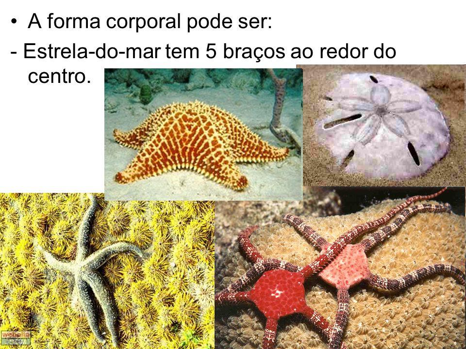 A forma corporal pode ser: - Estrela-do-mar tem 5 braços ao redor do centro.