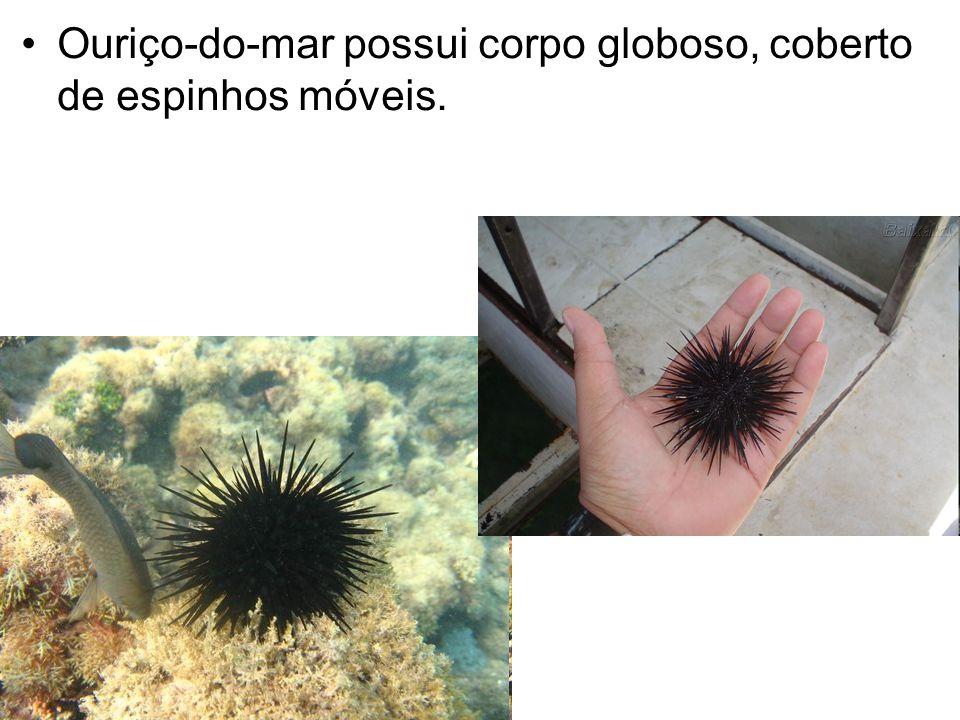 Ouriço-do-mar possui corpo globoso, coberto de espinhos móveis.