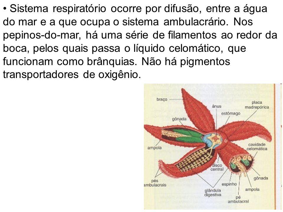 Sistema respiratório ocorre por difusão, entre a água do mar e a que ocupa o sistema ambulacrário.