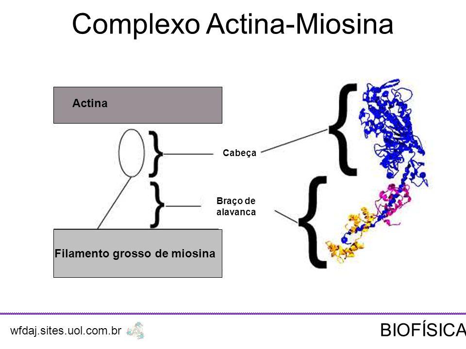 Actina Filamento grosso de miosina Cabeça Braço de alavanca Complexo Actina-Miosina wfdaj.sites.uol.com.br BIOFÍSICA