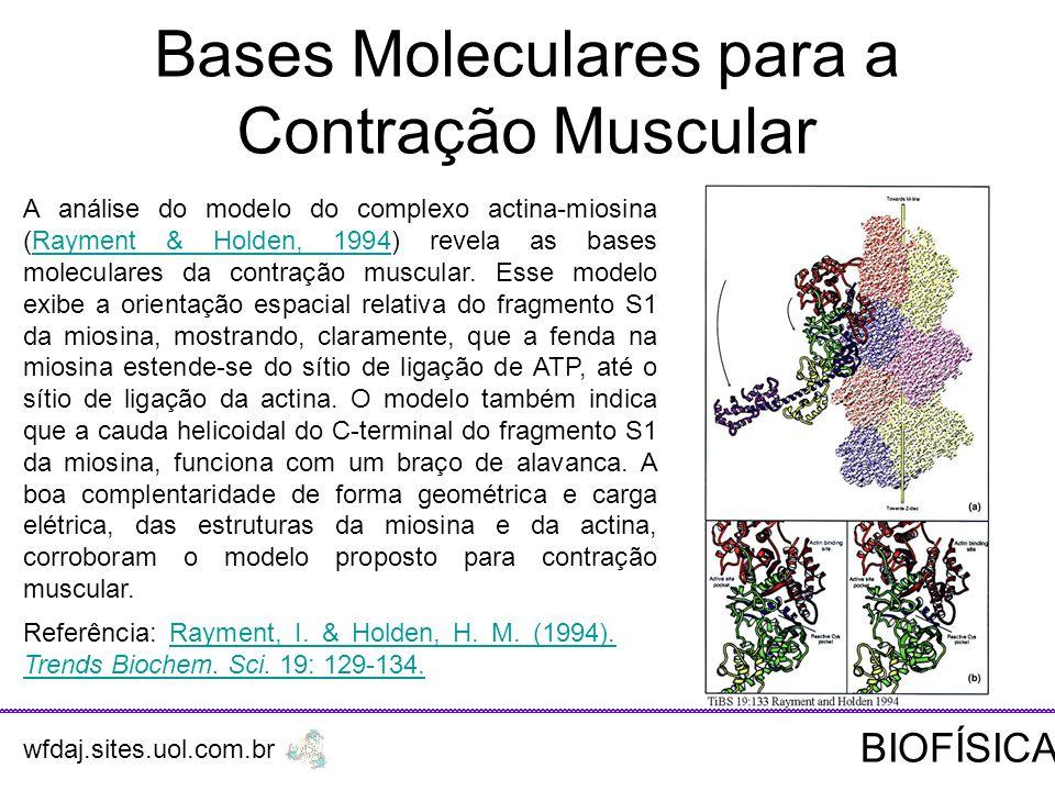 A análise do modelo do complexo actina-miosina (Rayment & Holden, 1994) revela as bases moleculares da contração muscular.