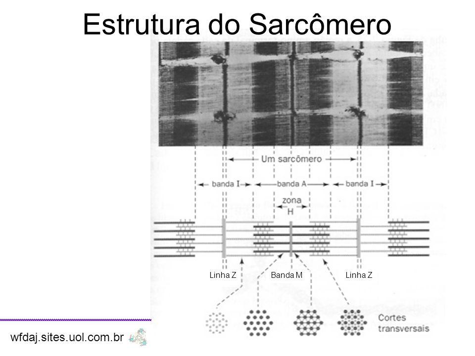 Estrutura do Sarcômero Banda MLinha Z wfdaj.sites.uol.com.br