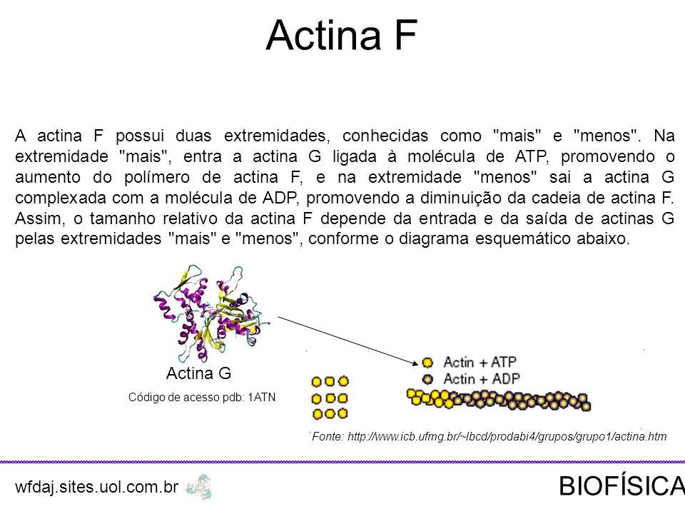 Actina F Actina G Código de acesso pdb: 1ATN A actina F possui duas extremidades, conhecidas como mais e menos .