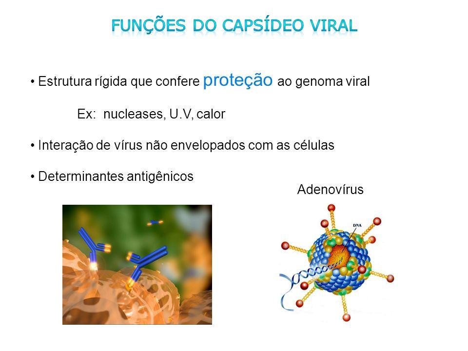 Estrutura rígida que confere proteção ao genoma viral Ex: nucleases, U.V, calor Interação de vírus não envelopados com as células Determinantes antigê