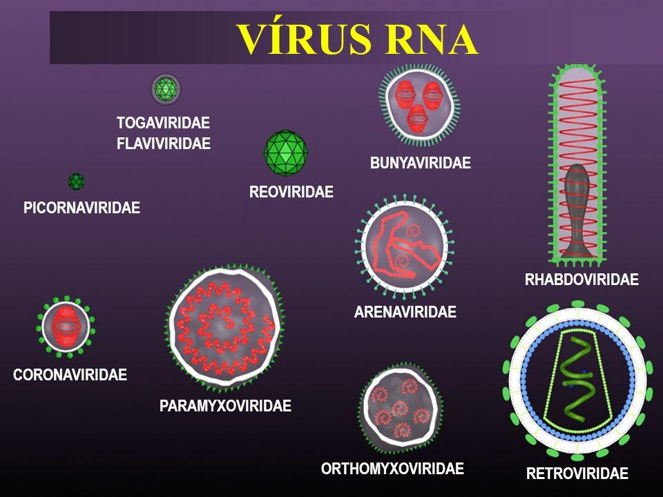 VÍRUS RNA PICORNAVIRIDAE TOGAVIRIDAE FLAVIVIRIDAE REOVIRIDAE BUNYAVIRIDAE RHABDOVIRIDAE ARENAVIRIDAE RETROVIRIDAE ORTHOMYXOVIRIDAE PARAMYXOVIRIDAE COR