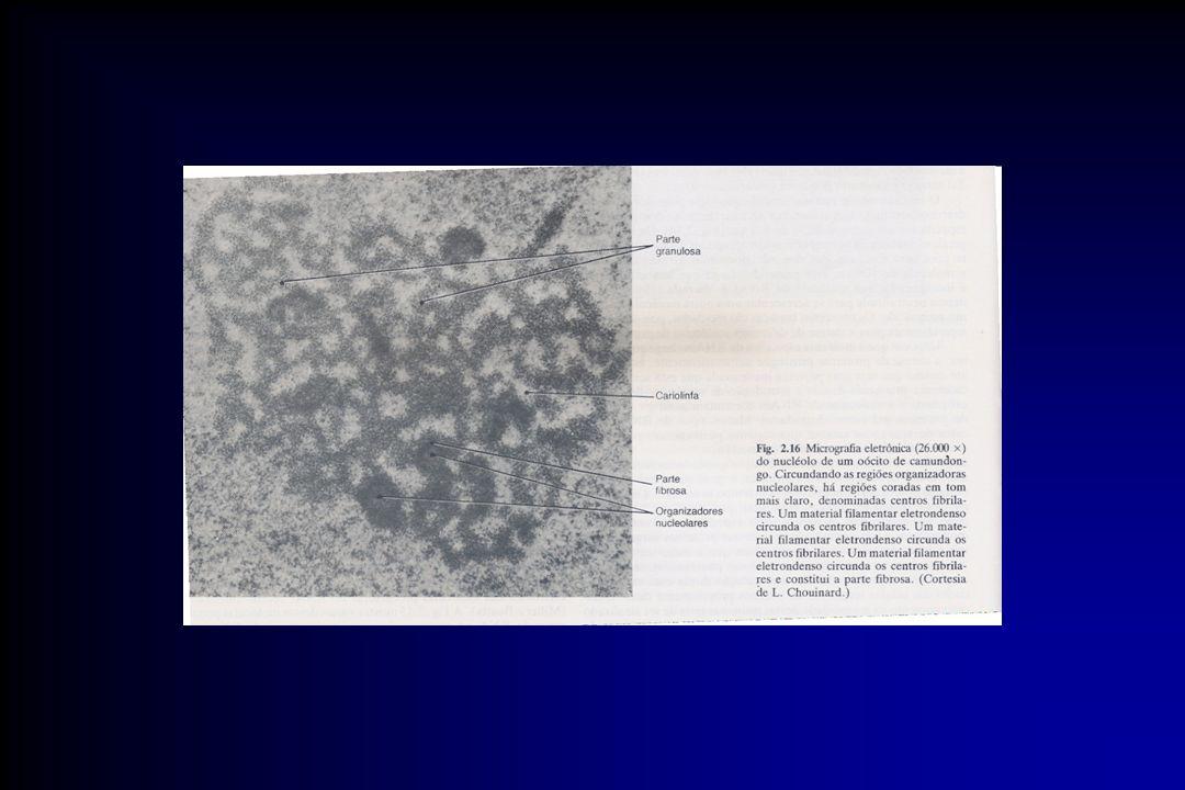 Estrutura densa não membranosa, localixada no núcleo.