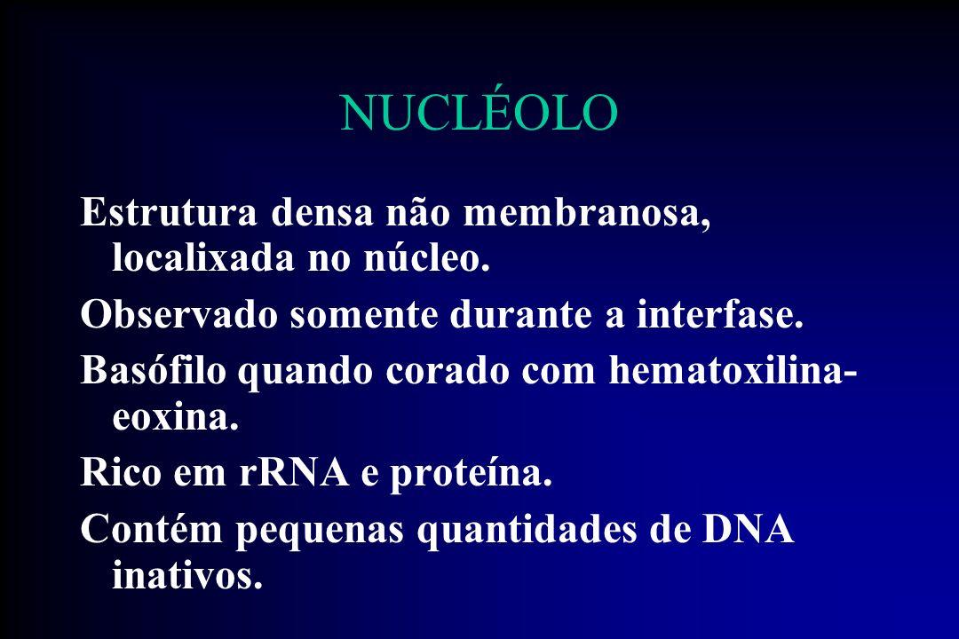 NUCLÉOLO Possui 4 áreas: 1- Centro fibrilar, fracamente corado, contendo DNA inativo (não transcrito) 2- Pars fibrosa, contendo RNAs nucleares a serem transcritos 3- Pars granulosa, à qual se unem sub unidades ribossômicas em maturação 4-Matriz nucleolar, rede de fibras que participa da organização nucleolar