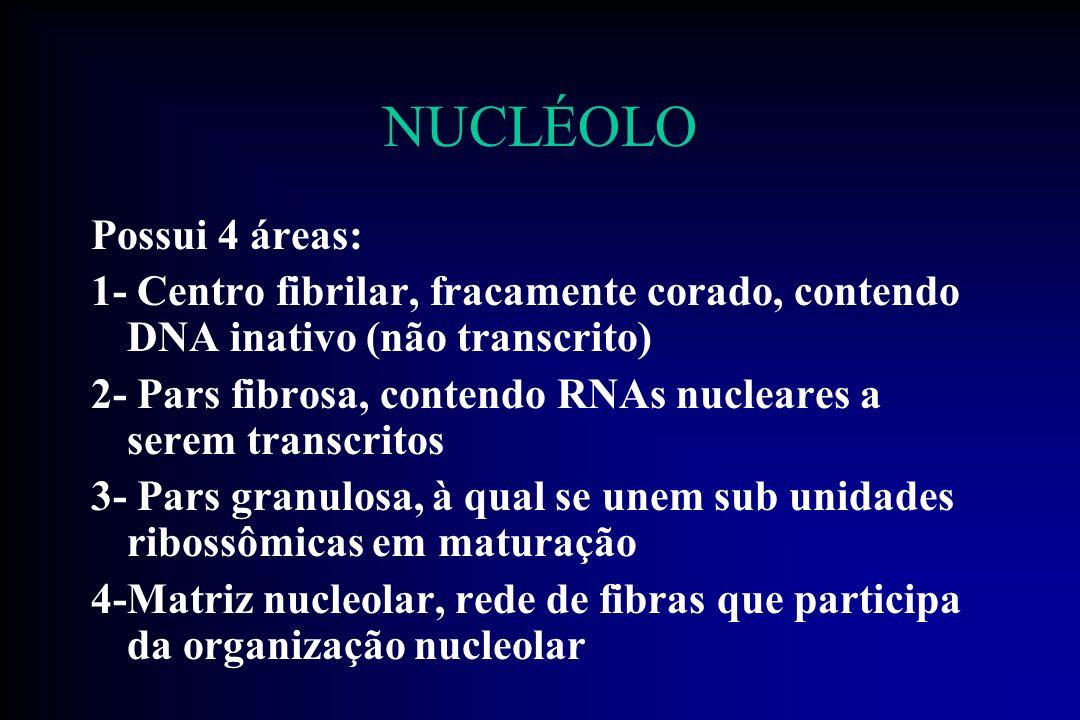 NUCLÉOLO Regiões de organização nucleolar (NORs) Localizadas em regiões pouco coradas que na espécie humana se localizam nas extremidades dos cromossomos 13, 14 15, 21 e 22, nos locais dos genes que codificam o rRNA.