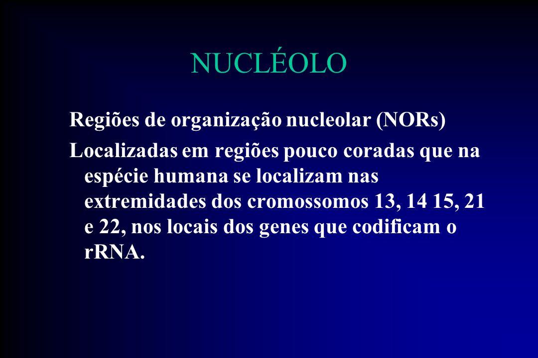 NUCLÉOLO Regiões de organização nucleolar (NORs) Localizadas em regiões pouco coradas que na espécie humana se localizam nas extremidades dos cromosso