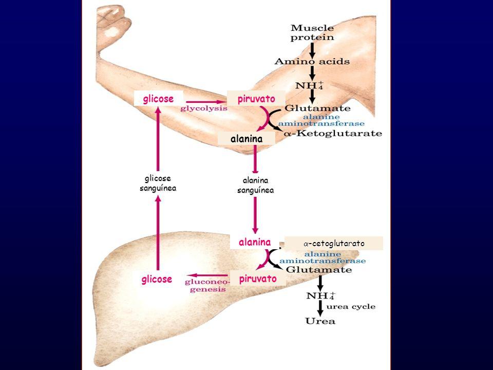 glicose sanguínea alanina sanguínea glicose piruvato alanina -cetoglutarato -cetoglutarato glicosepiruvato alanina
