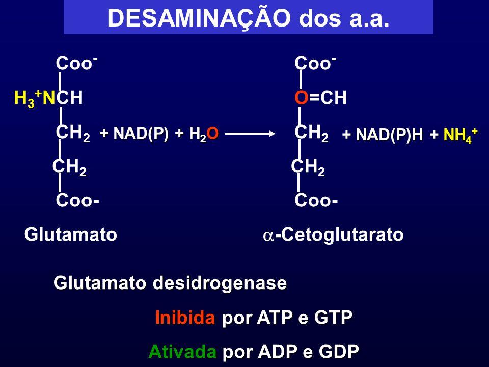 DESAMINAÇÃO dos a.a. Coo - H 3 + NCH CH 2 Coo- Glutamato + NAD(P) + H 2 O Coo - O=CH CH 2 Coo- -Cetoglutarato + NAD(P)H + NH 4 + Glutamato desidrogena
