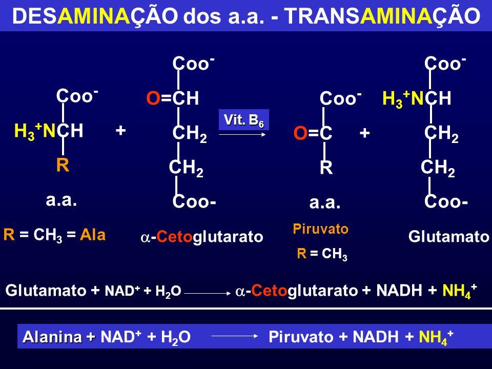 DESAMINAÇÃO dos a.a. - TRANSAMINAÇÃO Coo - H 3 + NCH + R a.a. R = CH 3 = Ala Coo - O=CH CH 2 Coo- -Cetoglutarato Coo - O=C + R a.a. Piruvato R = CH 3