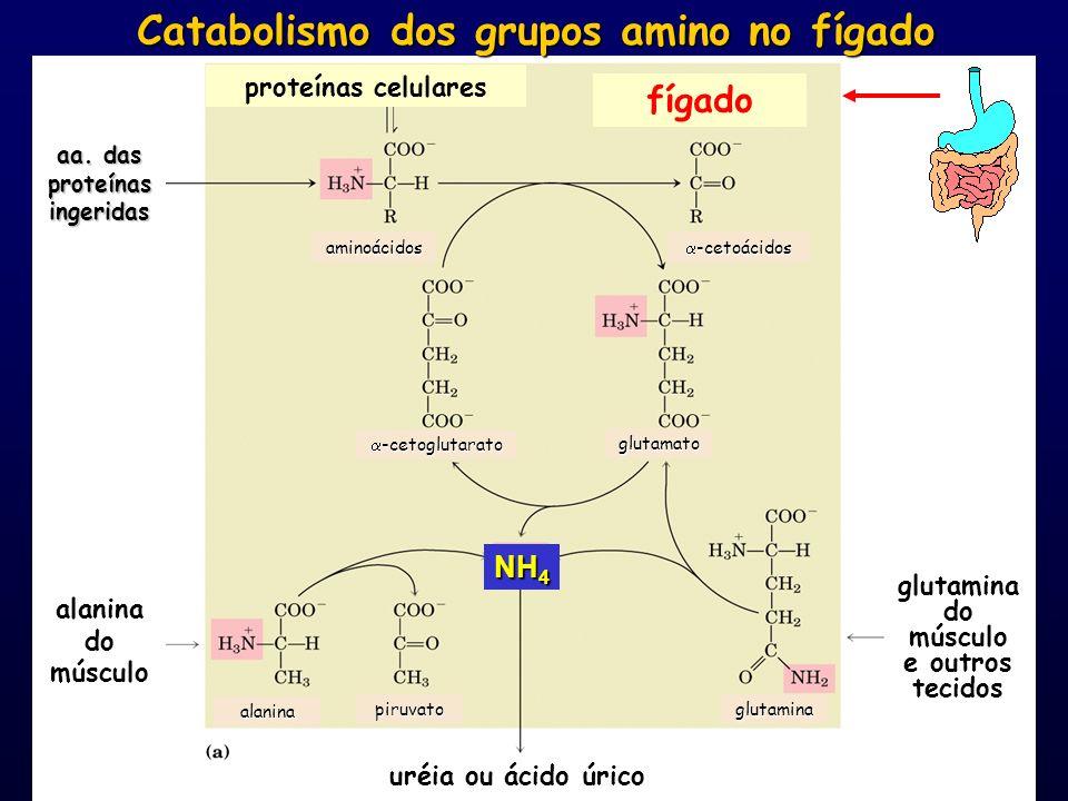 fígado aa. das proteínas ingeridas proteínas celulares alanina do músculo glutamina do músculo e outros tecidos uréia ou ácido úrico Catabolismo dos g