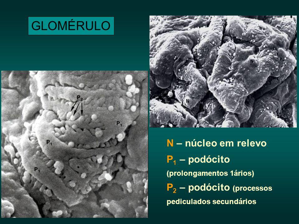 GLOMÉRULO N – núcleo em relevo P 1 – podócito (prolongamentos 1ários) P 2 – podócito (processos pediculados secundários