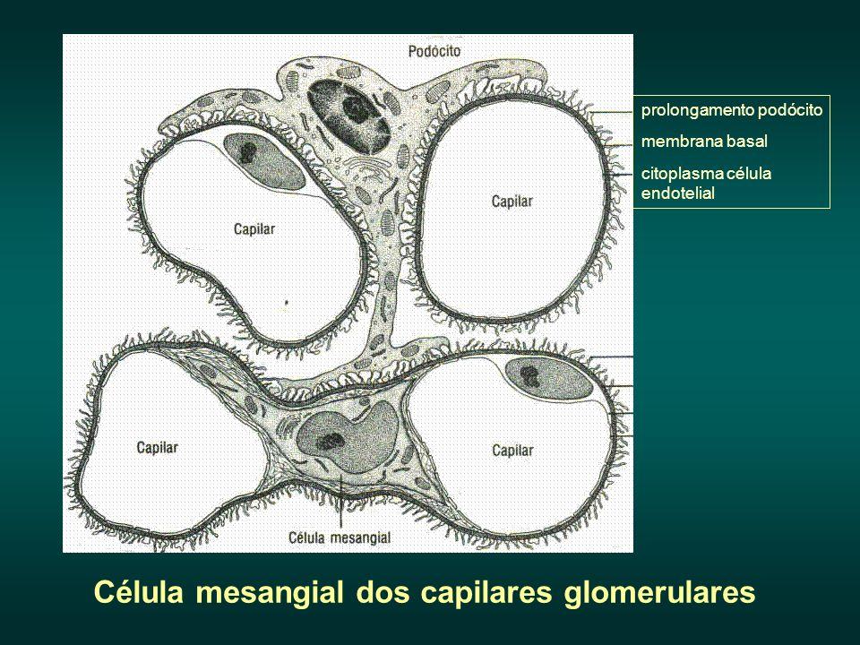 prolongamento podócito membrana basal citoplasma célula endotelial Célula mesangial dos capilares glomerulares