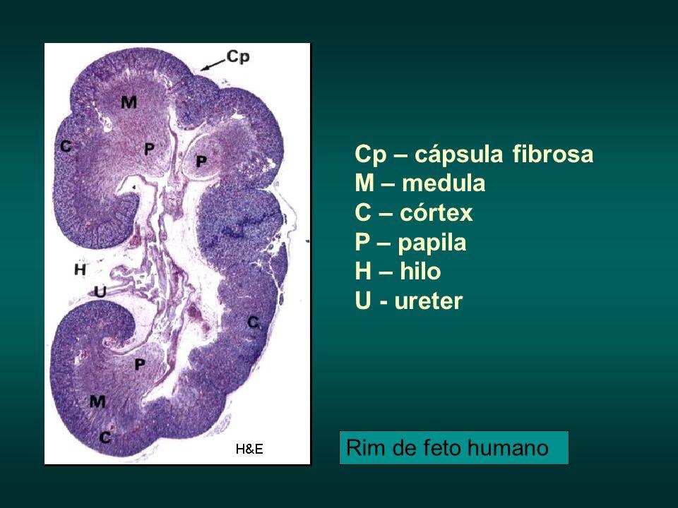 Cp – cápsula fibrosa M – medula C – córtex P – papila H – hilo U - ureter Rim de feto humano