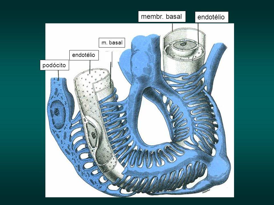 endotélio membr. basal podócito endotélio m. basal