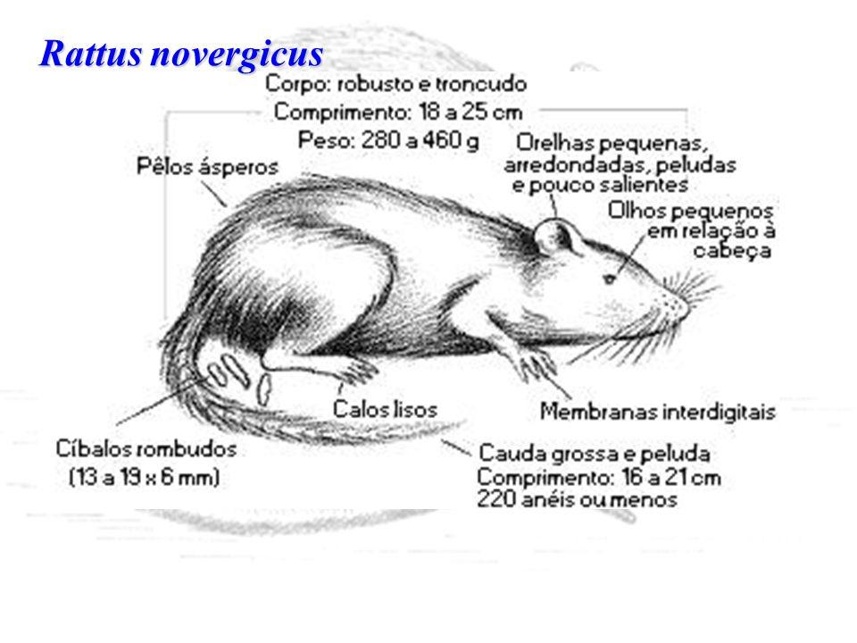 Rattus novergicus