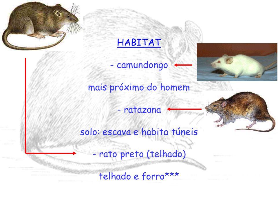 HABITAT - camundongo mais próximo do homem - ratazana solo: escava e habita túneis - rato preto (telhado) telhado e forro***