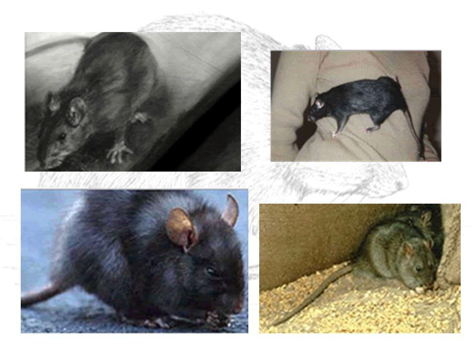 RATICIDAS ANTICOAGULANTES DE DOSE MÚLTIPLA * efeito cumulativo - precisam ser ingeridos por dias consecutivos (2-5) * roedores não percebem o que está causando a morte e continuam ingerindo * são eficazes mesmo em doses baixas