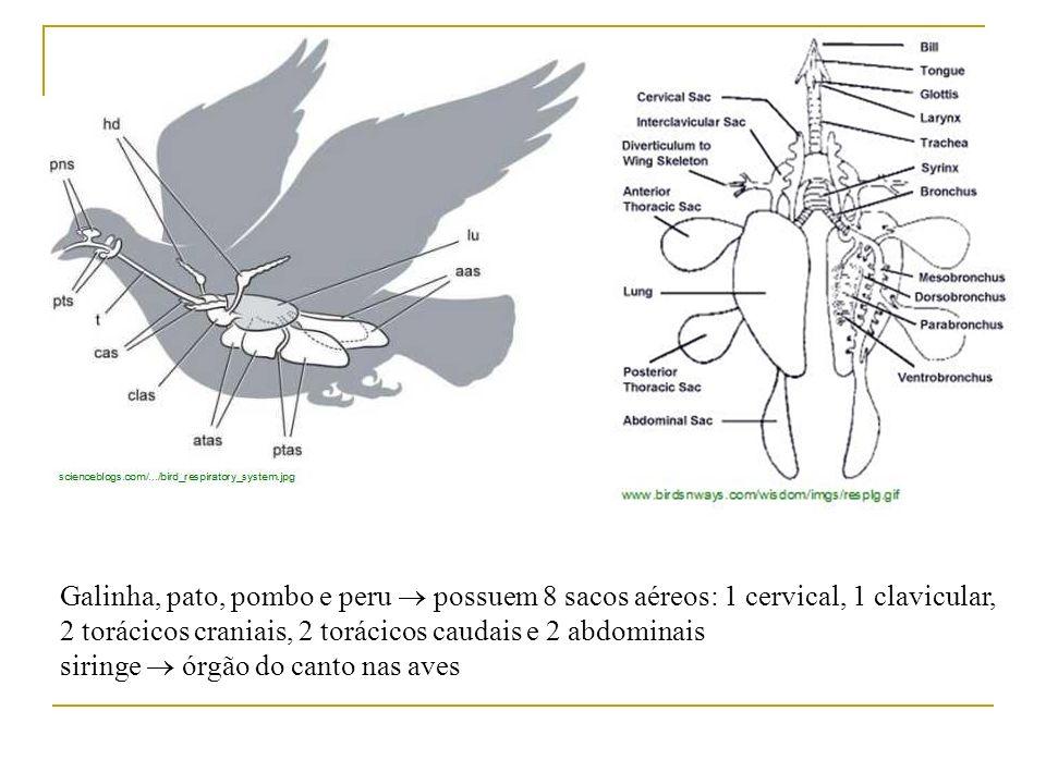 Galinha, pato, pombo e peru possuem 8 sacos aéreos: 1 cervical, 1 clavicular, 2 torácicos craniais, 2 torácicos caudais e 2 abdominais siringe órgão d